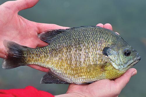 How to Thread a Green Sunfish, Bluegill, Perch, Brim